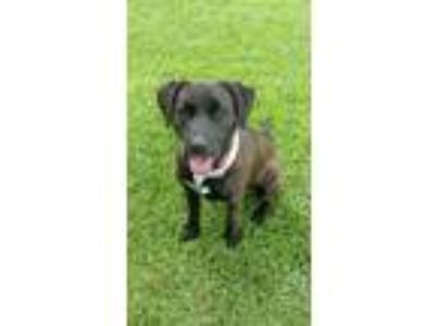 Adopt Lucy a Brown/Chocolate - with Black Labrador Retriever / Mixed dog in