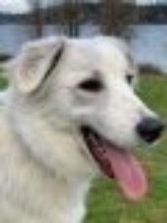 Wren Great Pyrenees - Anatolian Shepherd Dog