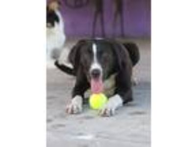 Adopt JOHNNY a Black - with White Labrador Retriever / Border Collie / Mixed dog