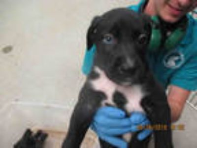 Adopt RAZZLE a Black - with White Border Collie / Mixed dog in Oklahoma City