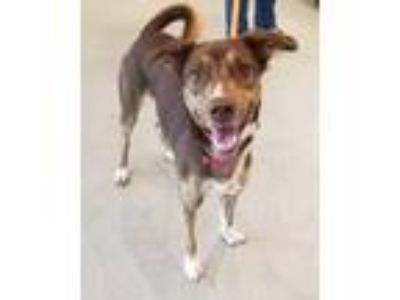 Adopt Reece a Brown/Chocolate - with White Husky / Labrador Retriever / Mixed