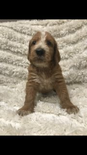 Poodle (Standard)-Spinone Italiano Mix PUPPY FOR SALE ADN-104515 - Spinonedoodles