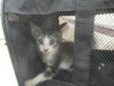 Adopt 42149241 a Gray or Blue Domestic Shorthair / Domestic Shorthair / Mixed