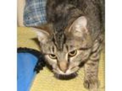 Adopt Caninga (male kitten) a Domestic Short Hair