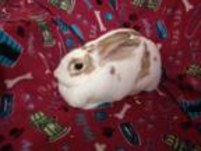 Adopt Bria a Other/Unknown / Mixed rabbit in Idaho Falls, ID (25297395)