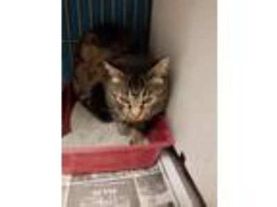 Adopt Skipper a Domestic Shorthair / Mixed (short coat) cat in Vineland