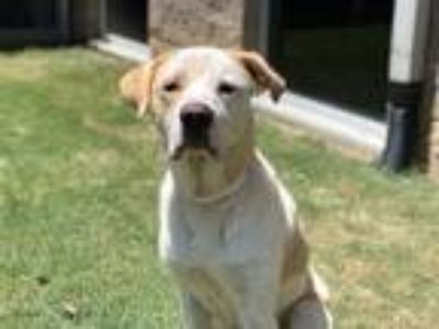Adopt Timmy a Labrador Retriever / Great Pyrenees / Mixed dog in Birmingham