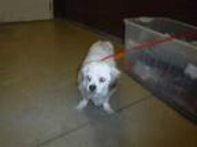 Adopt DERBY a White - with Brown or Chocolate English Toy Spaniel / Mixed dog in