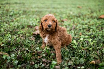 Goldendoodle PUPPY FOR SALE ADN-98853 - Goldendoodle Puppies