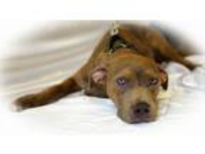 Adopt Andrew a Hound, Pit Bull Terrier