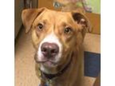 Adopt Trooper a Red/Golden/Orange/Chestnut Labrador Retriever / Mixed dog in