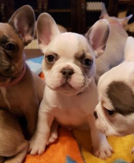 French Bulldog PUPPY FOR SALE ADN-106927 - French Bulldog Puppies