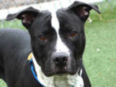 Adopt ZEUS a Black - with White American Pit Bull Terrier / Mixed dog in Denver