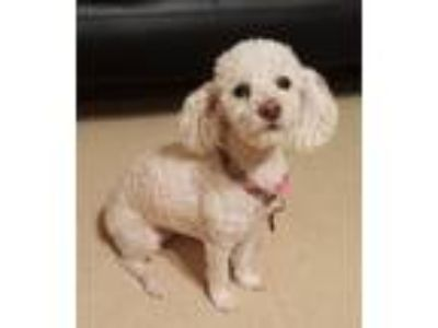Adopt Chloe a White Bichon Frise / Poodle (Miniature) dog in Garden Grove