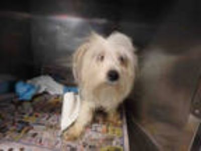 Adopt FRANKIE a White - with Brown or Chocolate Pomeranian / Mixed dog in Los