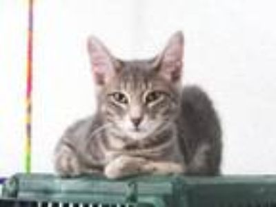Adopt Greg a Domestic Medium Hair