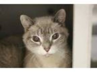 Adopt Delano a Gray or Blue Domestic Shorthair / Domestic Shorthair / Mixed cat