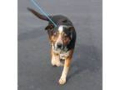 Adopt Peanut a Australian Cattle Dog / Blue Heeler