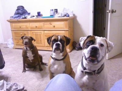 want 2 stud my boxerbullmastiffs (abilene)