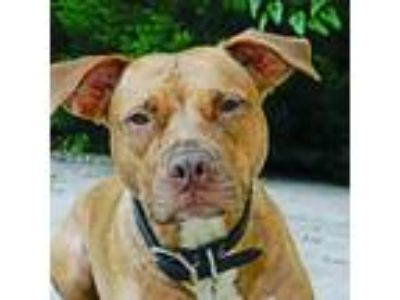Adopt Missy a Brindle American Pit Bull Terrier / Mixed dog in Kennesaw
