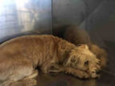 Adopt BROWNIE a White Border Terrier / Schnauzer (Miniature) / Mixed dog in