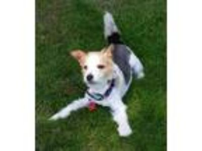 Adopt Andy a Jack Russell Terrier