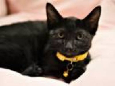 Adopt WEDNESDAY ADAAMS a Black (Mostly) Siamese / Mixed (short coat) cat in