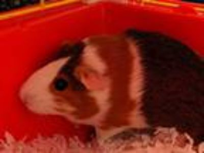 Adopt COOKIE a Black Guinea Pig / Mixed small animal in Charlotte, NC (25558502)