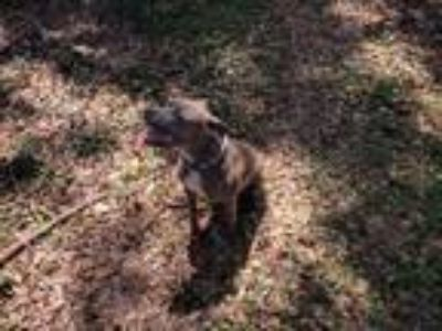 Adopt Jasmine a Brindle - with White American Pit Bull Terrier / American