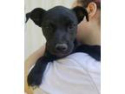 Adopt TRANCE a Black Labrador Retriever / Shepherd (Unknown Type) / Mixed dog in