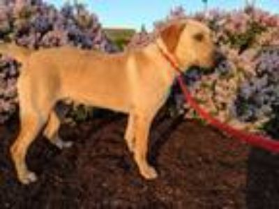 Adopt Big Mike a Labrador Retriever, Mastiff