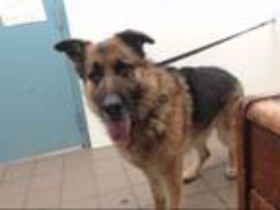 Adopt KRATOS a German Shepherd Dog, Mixed Breed