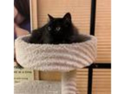 Adopt Clover a All Black Domestic Longhair (long coat) cat in Jackson