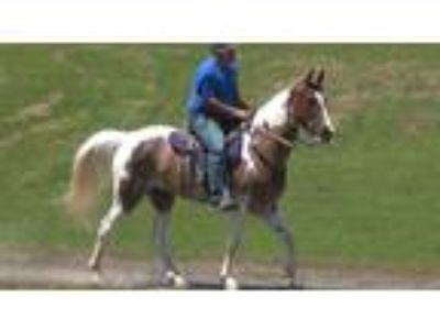 Classy easy to ride experienced gaited trail horse