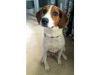 Adopt Cleo a Tricolor (Tan/Brown & Black & White) Treeing Walker Coonhound /