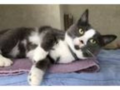 Adopt Prancer a Domestic Short Hair, Tuxedo