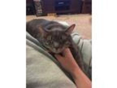 Adopt Mohawk a Gray, Blue or Silver Tabby Domestic Shorthair / Mixed cat in