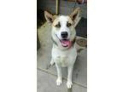 Adopt Marty a White Husky / Shepherd (Unknown Type) / Mixed dog in Corvallis