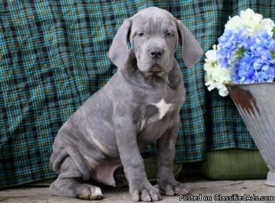 merry Cane Corso puppies