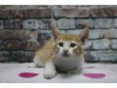 Adopt Micah a Orange or Red Domestic Shorthair / Domestic Shorthair / Mixed cat