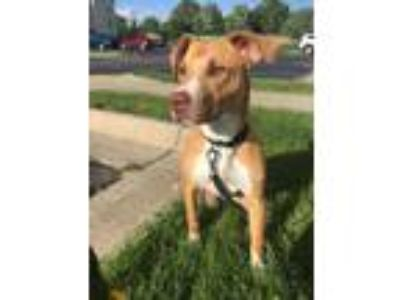 Adopt Sally a Pit Bull Terrier / Mixed dog in Laingsburg, MI (25648731)