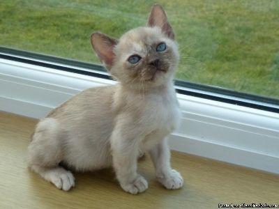 Accomplished Burmese kitten