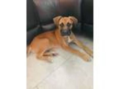 Adopt Winston a Tan/Yellow/Fawn Boxer / Mixed dog in North Fort Myers