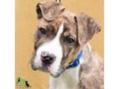Adopt Kenny a Boxer, Mixed Breed
