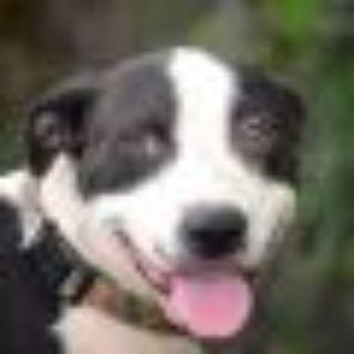 Shelby Pointer Dog