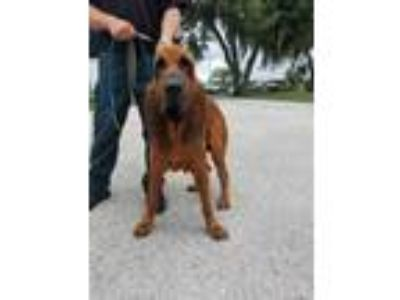 Adopt Stray/Little John a Brown/Chocolate Hound (Unknown Type) / Mixed dog in