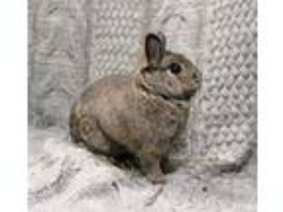 Adopt Mochi a Netherland Dwarf / Mixed rabbit in Oakland, CA (25548958)