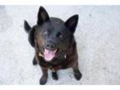 Adopt Biscuit the Ballerina a Black Collie / Chow Chow / Mixed dog in Mission
