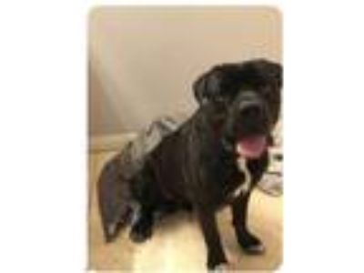 Adopt Hummer a Black Cane Corso / Mixed dog in N Las Vegas, NV (24834012)