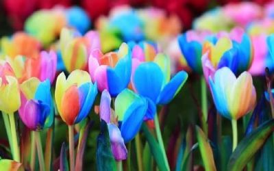 Tulips for sale - Rainbow Tulips
